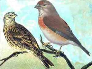 Cannabina linnet (finch) pair